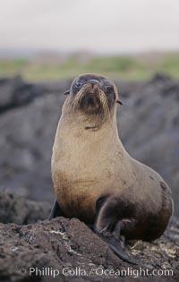 Galapagos fur seal. James Island, Galapagos Islands, Ecuador, Arctocephalus galapagoensis, natural history stock photograph, photo id 10071