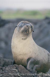 Galapagos fur seal. James Island, Galapagos Islands, Ecuador, Arctocephalus galapagoensis, natural history stock photograph, photo id 10072