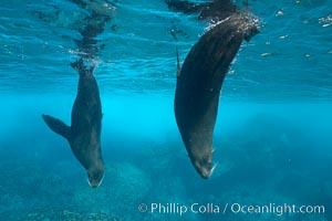 Galapagos fur seals,  Darwin Island. Galapagos Islands, Ecuador, Arctocephalus galapagoensis, natural history stock photograph, photo id 16313