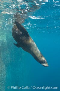 Galapagos fur seal,  Gordon Rocks. Gordon Rocks, Galapagos Islands, Ecuador, Arctocephalus galapagoensis, natural history stock photograph, photo id 16316