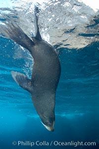 Galapagos fur seal,  Darwin Island. Galapagos Islands, Ecuador, Arctocephalus galapagoensis, natural history stock photograph, photo id 16318
