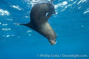 Galapagos fur seal,  Darwin Island. Darwin Island, Galapagos Islands, Ecuador, Arctocephalus galapagoensis, natural history stock photograph, photo id 16321