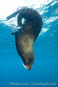 Galapagos fur seal,  Darwin Island, Arctocephalus galapagoensis