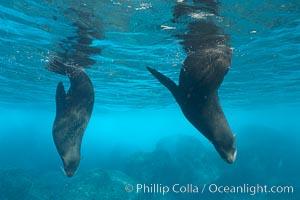 Galapagos fur seals,  Darwin Island, Arctocephalus galapagoensis