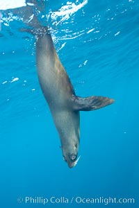 Galapagos fur seal,  Gordon Rocks. Gordon Rocks, Galapagos Islands, Ecuador, Arctocephalus galapagoensis, natural history stock photograph, photo id 16328