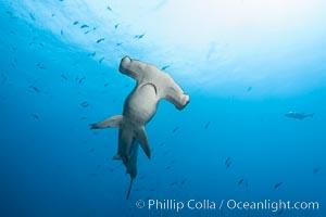 Scalloped hammerhead shark, black and white / grainy. Wolf Island, Galapagos Islands, Ecuador, Sphyrna lewini, natural history stock photograph, photo id 16277