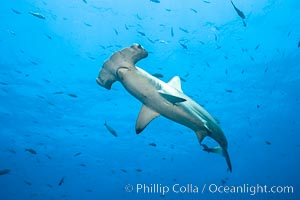 Scalloped hammerhead shark. Wolf Island, Galapagos Islands, Ecuador, Sphyrna lewini, natural history stock photograph, photo id 16282