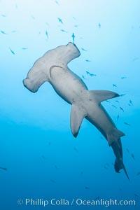 Scalloped hammerhead shark, black and white / grainy. Wolf Island, Galapagos Islands, Ecuador, Sphyrna lewini, natural history stock photograph, photo id 16283