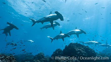 Hammerhead sharks, schooling, black and white / grainy. Wolf Island, Galapagos Islands, Ecuador, Sphyrna lewini, natural history stock photograph, photo id 16285