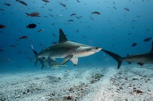 Scalloped hammerhead shark. Darwin Island, Galapagos Islands, Ecuador, Sphyrna lewini, natural history stock photograph, photo id 16291