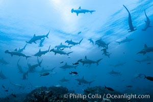 Hammerhead sharks, schooling, black and white / grainy. Wolf Island, Galapagos Islands, Ecuador, Sphyrna lewini, natural history stock photograph, photo id 16296