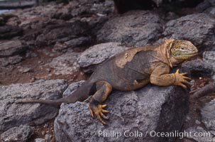 Galapagos land iguana. South Plaza Island, Galapagos Islands, Ecuador, Conolophus subcristatus, natural history stock photograph, photo id 01743
