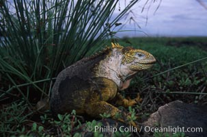 Image 02991, Galapagos land iguana. South Plaza Island, Galapagos Islands, Ecuador, Conolophus subcristatus, Phillip Colla, all rights reserved worldwide.   Keywords: above water:animal:conolophus subcristatus:creature:ecuador:endemic species:galapagos:galapagos islands:galapagos land iguana:iguana:nature:oceans:pacific:reptile:south plaza island:wildlife:world heritage sites.