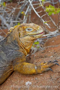 Galapagos land iguana. North Seymour Island, Galapagos Islands, Ecuador, Conolophus subcristatus, natural history stock photograph, photo id 16577