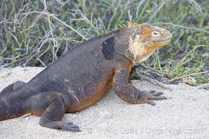 Galapagos land iguana. North Seymour Island, Galapagos Islands, Ecuador, Conolophus subcristatus, natural history stock photograph, photo id 16579