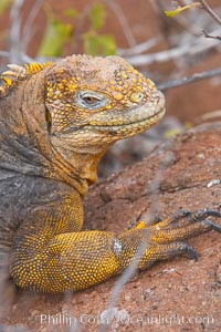 Galapagos land iguana. North Seymour Island, Galapagos Islands, Ecuador, Conolophus subcristatus, natural history stock photograph, photo id 16582