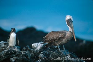 Galapagos penguin and brown pelican, Spheniscus mendiculus, Pelecanus occidentalis, James Island