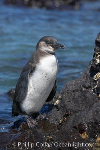 Galapagos penguin, perched on volcanic rocks.  Galapagos penguins are the northernmost species of penguin. Punta Albemarle. Isabella Island, Galapagos Islands, Ecuador, Spheniscus mendiculus, natural history stock photograph, photo id 16518