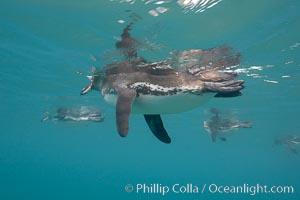 Galapagos penguin, underwater, swimming.  Bartolome Island, Spheniscus mendiculus