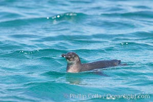 Galapagos penguin swimming.  Galapagos penguins are the northernmost species of penguin. Punta Albemarle, Spheniscus mendiculus, Isabella Island