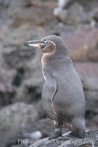 Galapagos penguin. Bartolome Island, Galapagos Islands, Ecuador, Spheniscus mendiculus, natural history stock photograph, photo id 16528