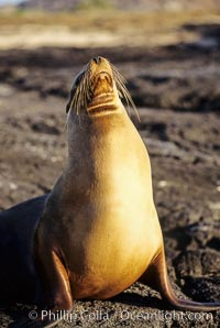 Galapagos sea lion, Zalophus californianus wollebacki, Zalophus californianus wollebaeki, James Island