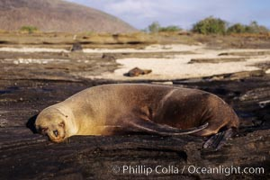 Galapagos sea lion. James Island, Galapagos Islands, Ecuador, Zalophus californianus wollebacki, Zalophus californianus wollebaeki, natural history stock photograph, photo id 01644