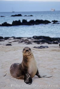Galapagos sea lion pup, Sullivan Bay, Zalophus californianus wollebacki, Zalophus californianus wollebaeki, James Island