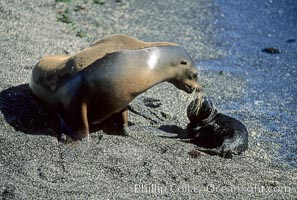 Galapagos sea lion mother and pup, Punta Espinosa. Fernandina Island, Galapagos Islands, Ecuador, Zalophus californianus wollebacki, Zalophus californianus wollebaeki, natural history stock photograph, photo id 01667