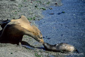 Galapagos sea lion mother and pup, Punta Espinosa, Zalophus californianus wollebacki, Zalophus californianus wollebaeki, Fernandina Island