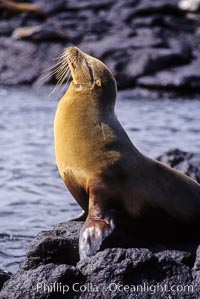 Galapagos sea lion,  South Plaza Island. Galapagos Islands, Ecuador, Zalophus californianus wollebacki, Zalophus californianus wollebaeki, natural history stock photograph, photo id 01675