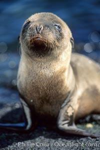 Galapagos sea lion pup,  Punta Espinosa, Zalophus californianus wollebacki, Zalophus californianus wollebaeki, Fernandina Island