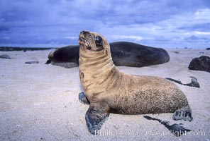 Galapagos sea lion. Mosquera Island, Galapagos Islands, Ecuador, Zalophus californianus wollebacki, Zalophus californianus wollebaeki, natural history stock photograph, photo id 02259
