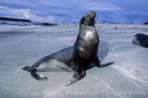 Galapagos sea lion, Zalophus californianus wollebacki, Zalophus californianus wollebaeki, Mosquera Island