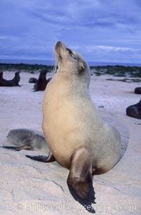 Image 02266, Galapagos sea lion. Mosquera Island, Galapagos Islands, Ecuador, Zalophus californianus wollebacki, Zalophus californianus wollebaeki, Phillip Colla, all rights reserved worldwide.   Keywords: animal:animalia:caniformia:carnivora:carnivore:chordata:creature:eared seal:ecuador:endangered:endangered threatened species:endemic species:galapagos:galapagos islands:galapagos sea lion:mammal:mammalia:marine:marine mammal:mosquera island:nature:ocean:oceans:otarid:otariid:otariidae:pacific:pinniped:pinnipedia:sea lion:sealion:vertebrata:vertebrate:wildlife:wollebaeki:world heritage sites:zalophus:zalophus californianus wollebacki:zalophus californianus wollebaeki.