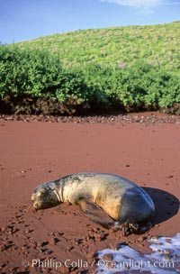 Galapagos sea lion rests on a red sand beach, Zalophus californianus wollebacki, Zalophus californianus wollebaeki, Floreana Island