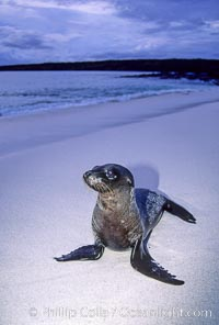 Galapagos sea lion pup. Mosquera Island, Galapagos Islands, Ecuador, Zalophus californianus wollebacki, Zalophus californianus wollebaeki, natural history stock photograph, photo id 10076