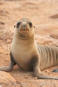 Galapagos sea lion pup, Zalophus californianus wollebacki, Zalophus californianus wollebaeki, North Seymour Island