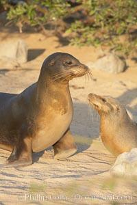 Galapagos sea lion, mother and pup. Isla Lobos, Galapagos Islands, Ecuador, Zalophus californianus wollebacki, Zalophus californianus wollebaeki, natural history stock photograph, photo id 16507