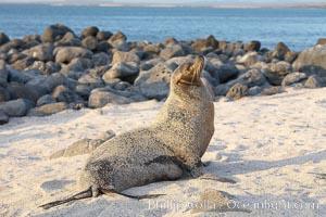 Galapagos sea lion on sandy, sunset. Isla Lobos, Galapagos Islands, Ecuador, Zalophus californianus wollebacki, Zalophus californianus wollebaeki, natural history stock photograph, photo id 16511