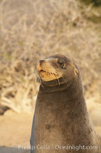 Galapagos sea lion. Isla Lobos, Galapagos Islands, Ecuador, Zalophus californianus wollebacki, Zalophus californianus wollebaeki, natural history stock photograph, photo id 16512
