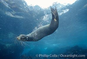 Galapagos sea lion, Devils Crown, Zalophus californianus wollebacki, Zalophus californianus wollebaeki, Floreana Island