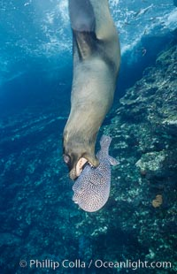 Galapagos sea lion playing with puffer fish. Cousins, Galapagos Islands, Ecuador, Zalophus californianus wollebacki, Zalophus californianus wollebaeki, natural history stock photograph, photo id 02255