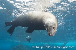 Galapagos sea lion, adult male. Darwin Island, Galapagos Islands, Ecuador, Zalophus californianus wollebacki, Zalophus californianus wollebaeki, natural history stock photograph, photo id 16393