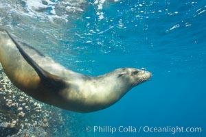 Galapagos sea lion. Gordon Rocks, Galapagos Islands, Ecuador, Zalophus californianus wollebacki, Zalophus californianus wollebaeki, natural history stock photograph, photo id 16396