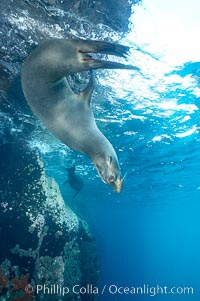 Galapagos sea lion, Zalophus californianus wollebacki, Zalophus californianus wollebaeki, Gordon Rocks