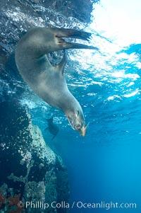 Galapagos sea lion. Gordon Rocks, Galapagos Islands, Ecuador, Zalophus californianus wollebacki, Zalophus californianus wollebaeki, natural history stock photograph, photo id 16398