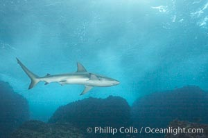 Galapagos shark, Carcharhinus galapagensis, Wolf Island