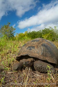 Galapagos tortoise, Santa Cruz Island species, highlands of Santa Cruz island. Santa Cruz Island, Galapagos Islands, Ecuador, Geochelone nigra, natural history stock photograph, photo id 16497