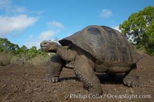 Galapagos tortoise, Santa Cruz Island species, highlands of Santa Cruz island. Santa Cruz Island, Galapagos Islands, Ecuador, Geochelone nigra, natural history stock photograph, photo id 16500